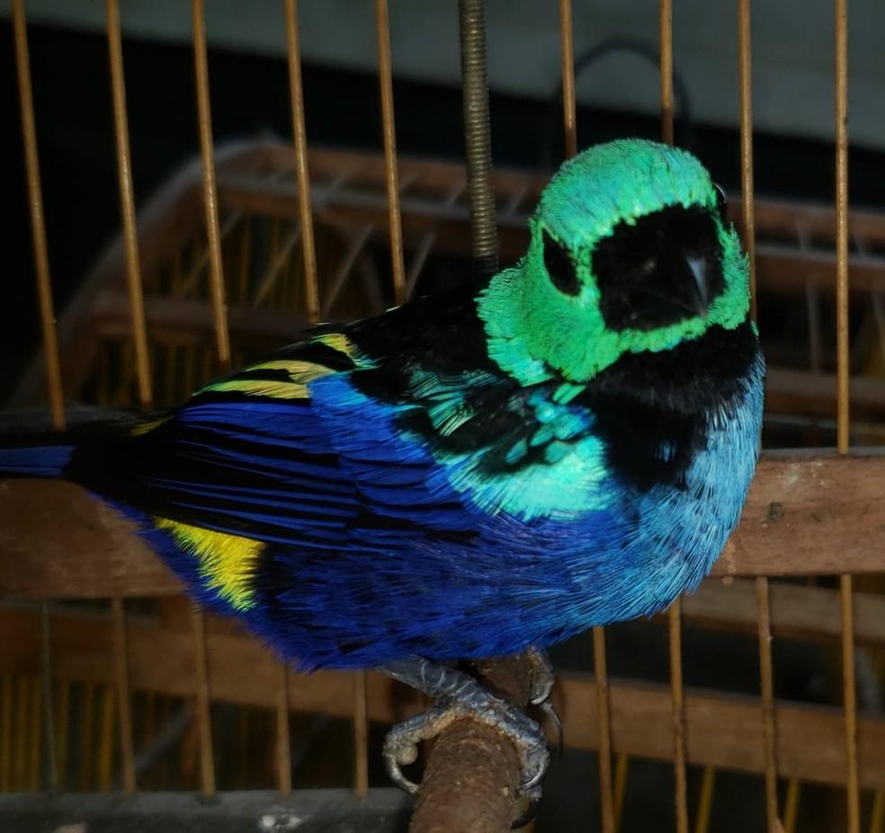 Um dos pássaros vítimas de caça ilegal resgatados por equipes da fiscalização na Zona da Mata de Alagoas — Foto: Ascom/IMA
