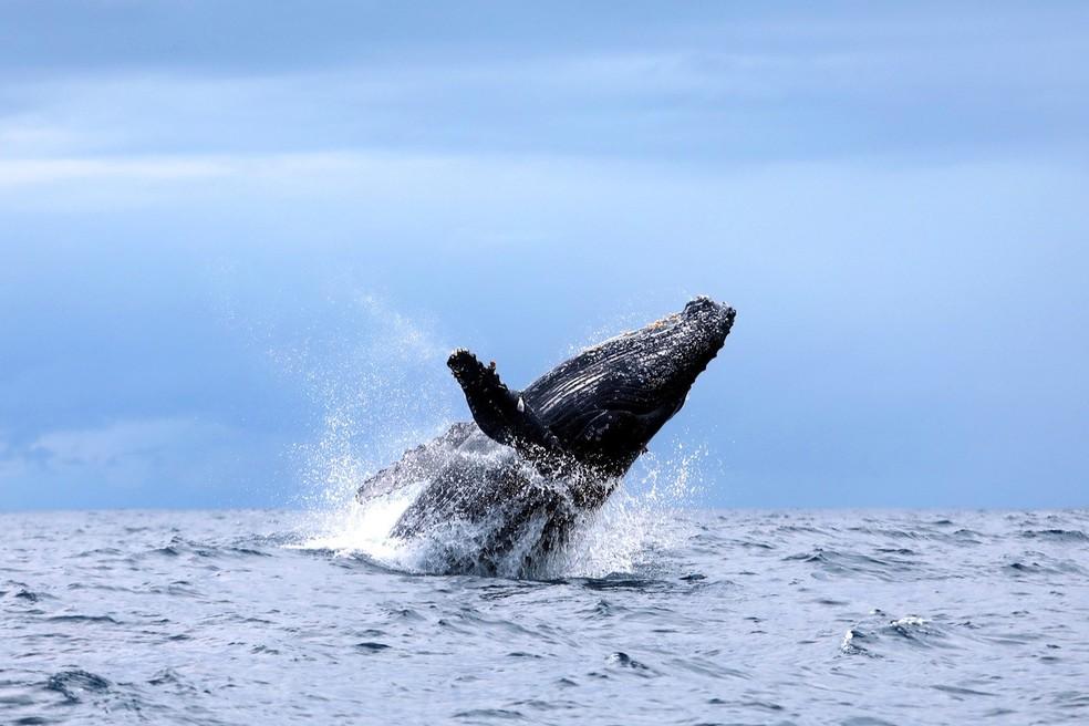 Baleia jubarte no litoral da Bahia — Foto: Julio Cardoso/ProBaV