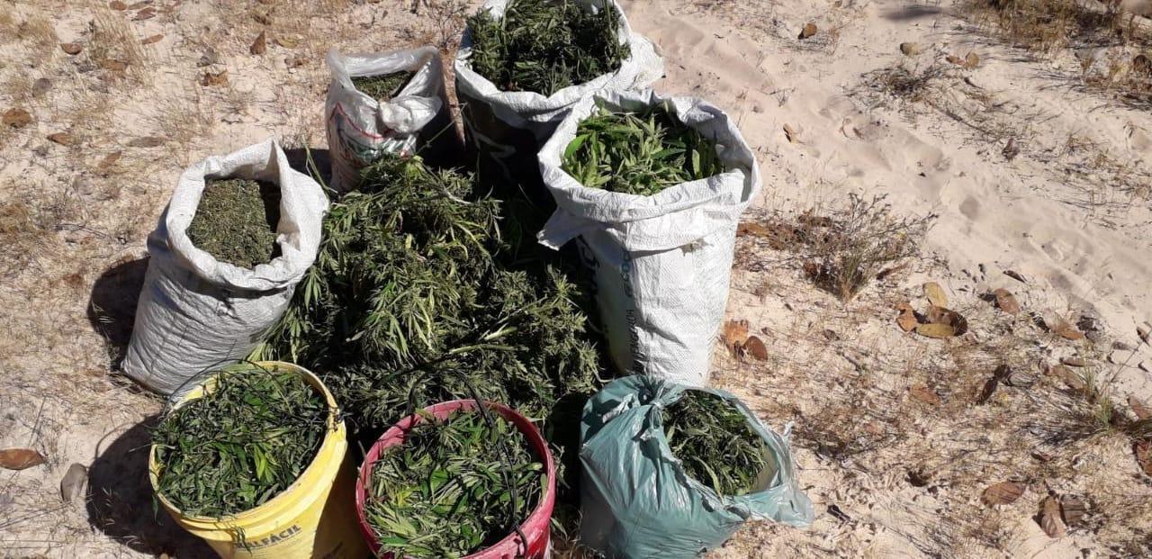 Plantação com cinco mil pés de maconha é incinerada no oeste da Bahia