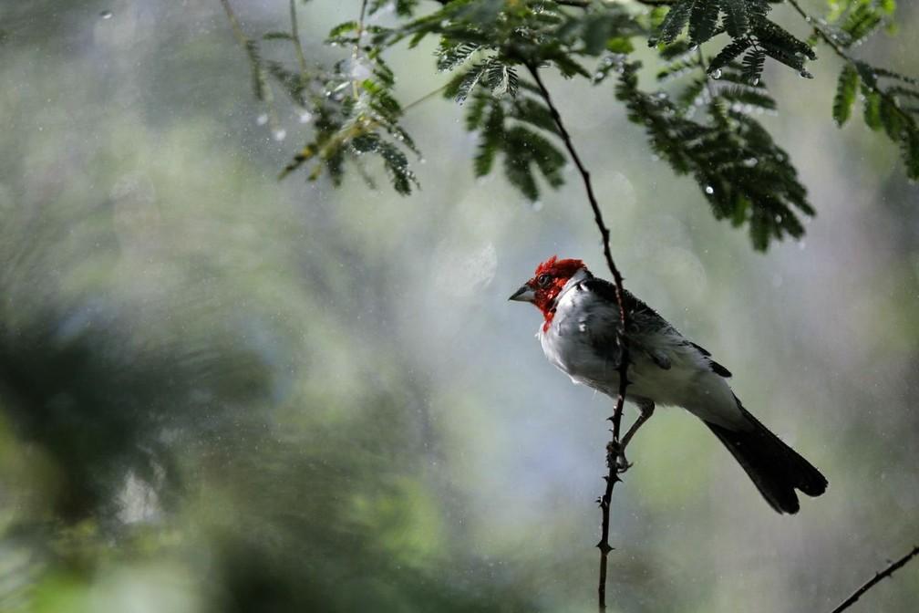 Aves silvestres resgatadas de cativeiro ganham liberdade no interior de Alagoas (Foto: Jonathan Lins/MP-AL)