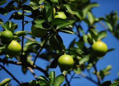 agricultura_limao_fruta (Foto: Acervo/Ed. Globo)