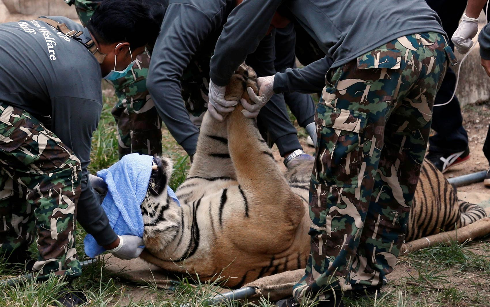 Tigres resgatados de templo na Tailândia morrem após suspeitas de tráfico de animais - Notícias - Plantão Diário