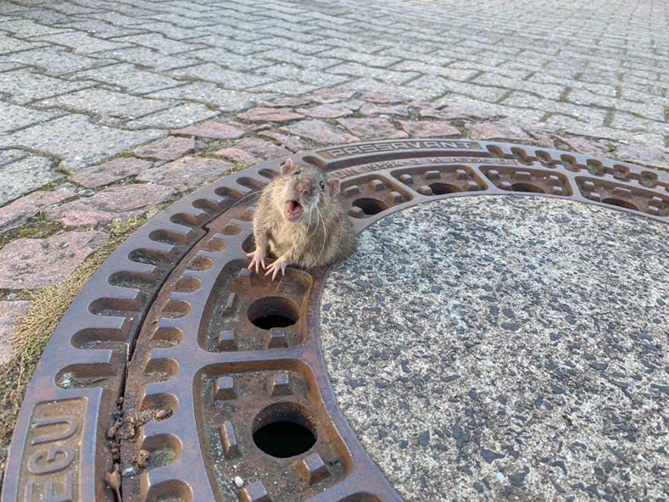 Rata rangeu de dor até ser salva (Foto: Berufstierrettung Rhein Neckar/ Facebook)