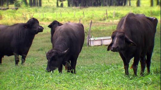 Criador forma um dos maiores rebanhos de búfalos do Brasil no sertão do Rio Grande do Norte
