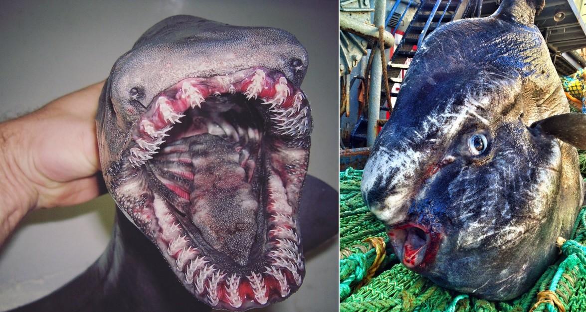 Peixes retirados de grandes profundidades do Ártico