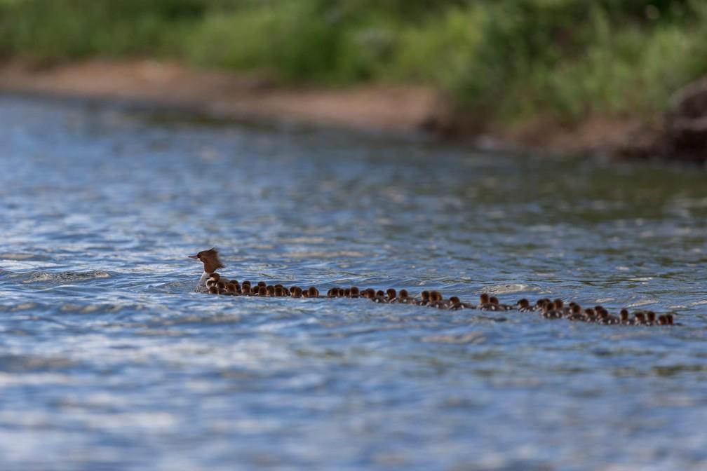 Pata é fotografada seguida por 76 filhotes nos EUA (Foto: Brent Cizek/brentcizekphoto.com via AP)