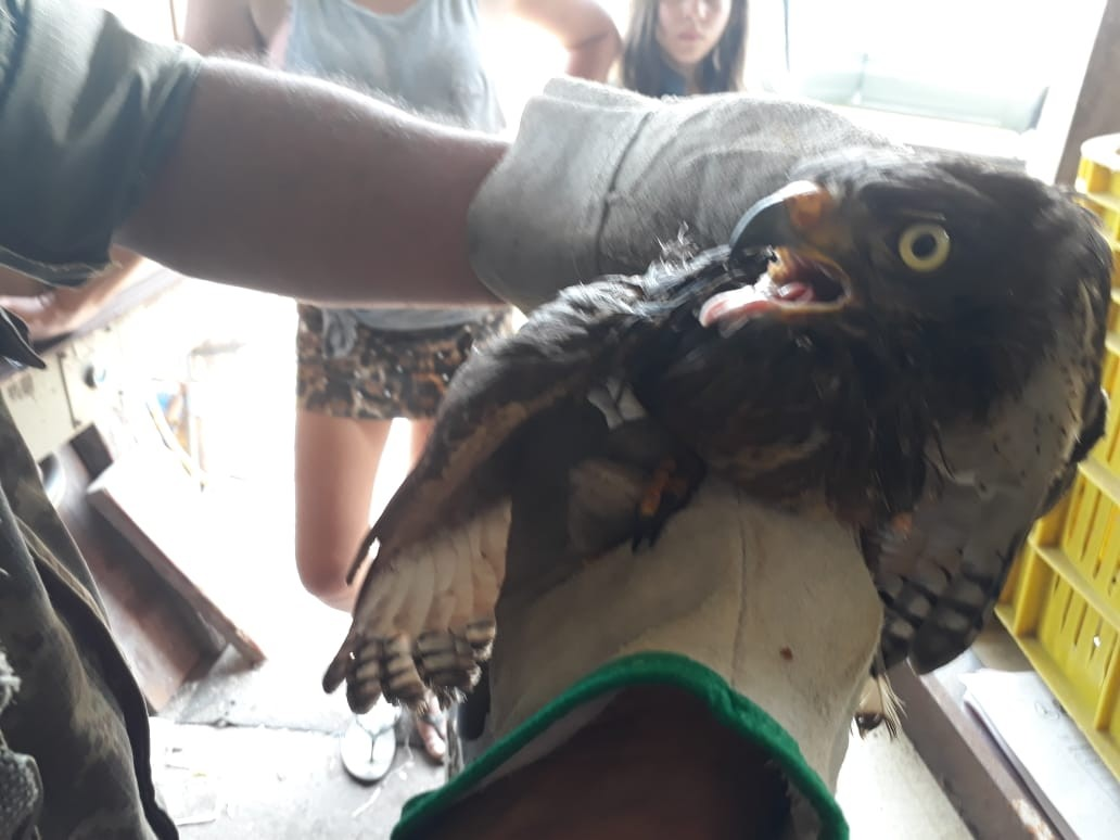 Gavião é resgatado após se machucar em arame farpado no litoral de SP