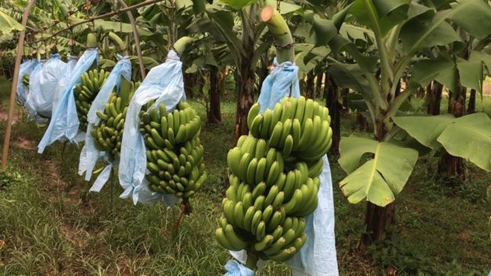 Cachos de banana são presos em armações de metal antes de serem limpos (Foto: BBC)