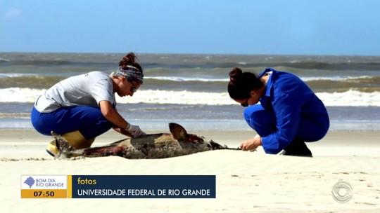 Pesquisadores encontram toninhas mortas na Praia do Mar Grosso, em São José do Norte