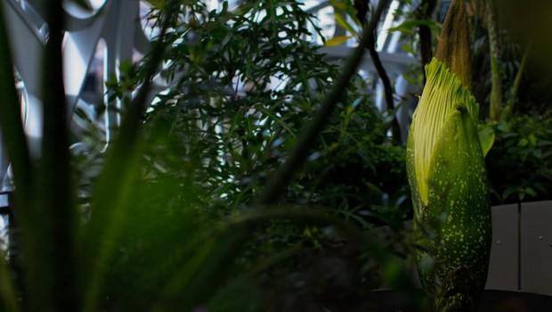 Flor cadáver exala cheiro parecido com carne podre e pode atingir 7 metros  (Foto: Divulgação/Amazon)