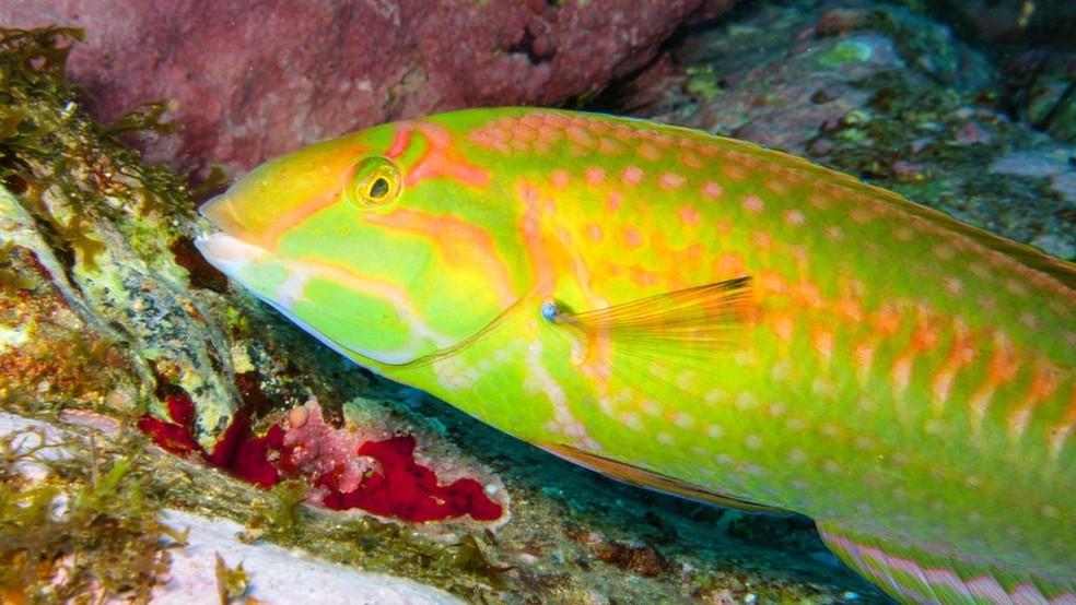 Os pesquisadores registraram 13 espécies de peixes recifais endêmicas (restritas ao local) na cordilheira até agora (Foto: João Luiz Gasparini/ Divulgação)
