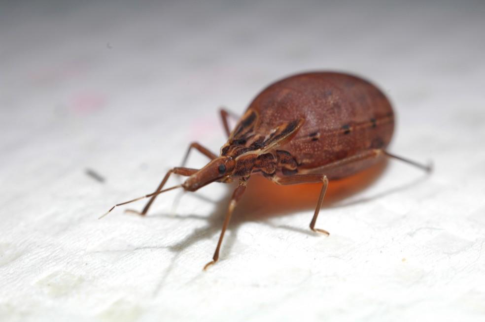 O barbeiro (Rhodnius prolixus), inseto transmissor da doença de Chagas (Foto:  AXS)