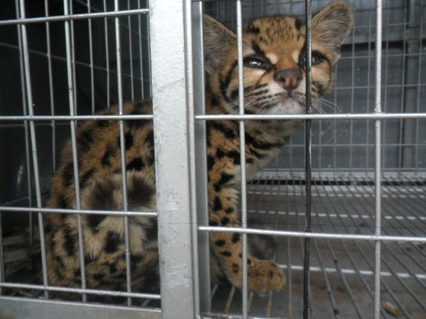 Felino precisa passar por readaptação aos hábitos para voltar ao habitat natural. (Fot PMA/Divulgação)