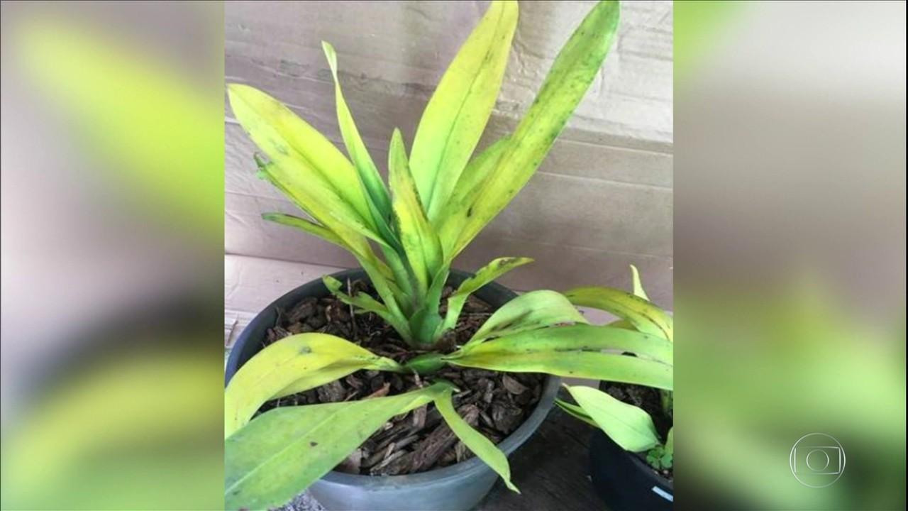 Saiba o que pode provocar amarelamento nas folhas de orquídeas