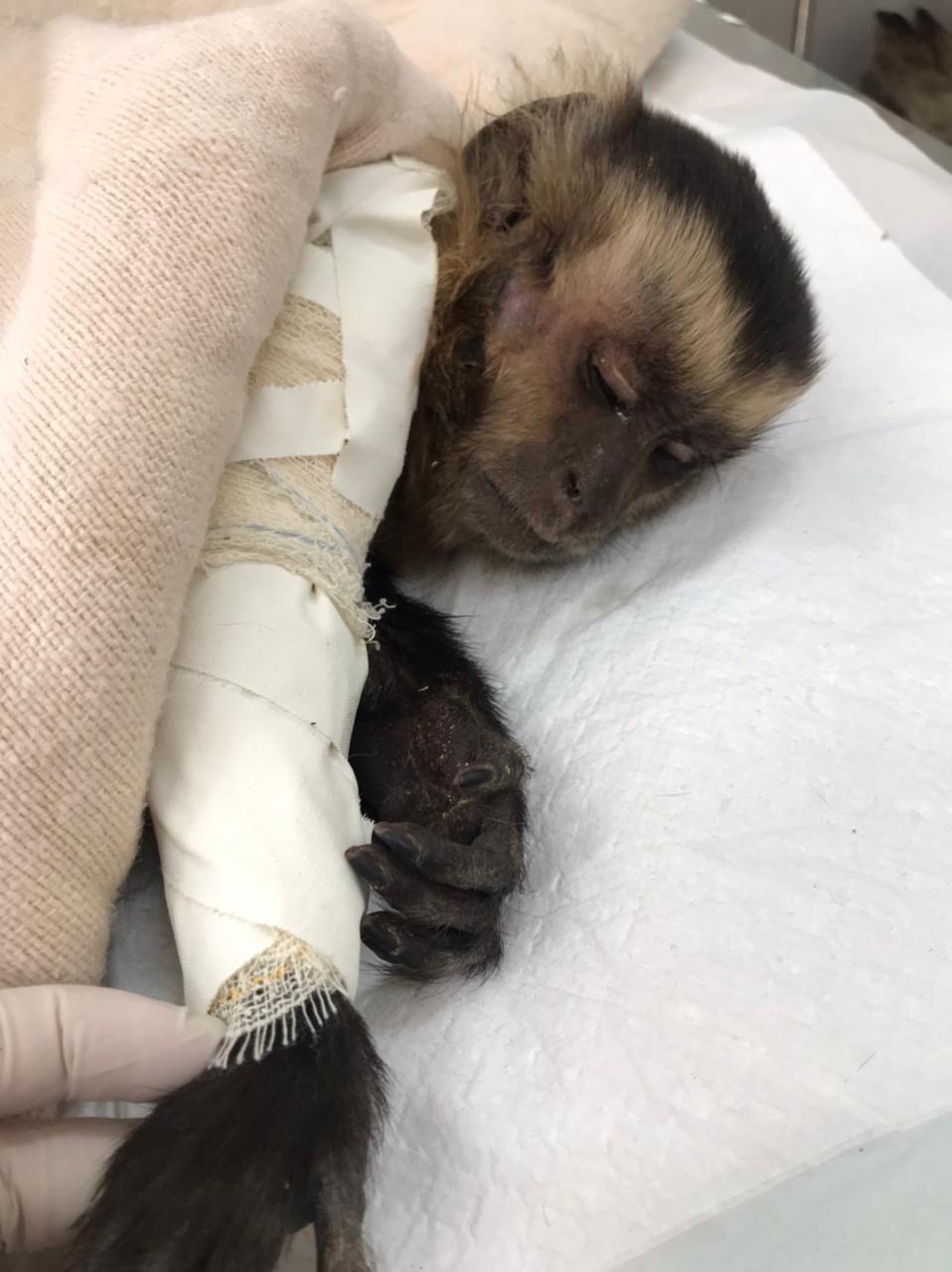 Macaco-prego é atacado por cães ao se perder de bando e fica gravemente ferido em MT