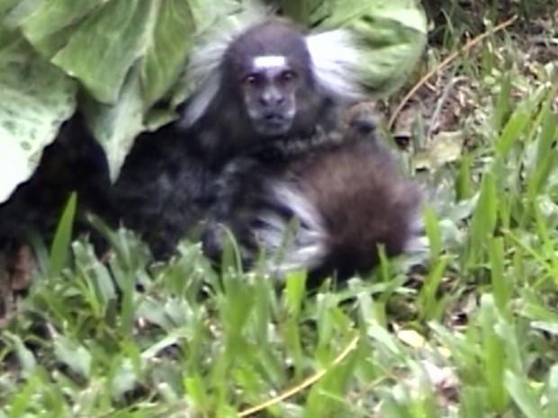 Sagui macho permaneceu 1h48 ao lado da fêmea, que agonizou até morrer após cair de uma árvore (Fot BBC)