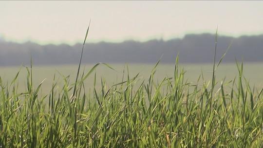 Estiagem preocupa agricultores, que já falam em prejuízos com plantação de trigo em SC