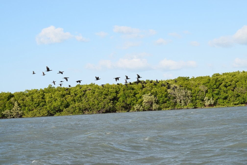 Patos selvagens são presença constante nos mangues (Foto: Maxwell Almeida)