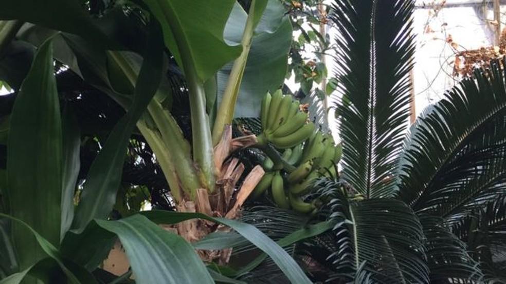 Bananas do tipo cavendish, como as nanicas, eram cultivadas em estufas no Reino Unido desde 1840 (Foto: BBC)