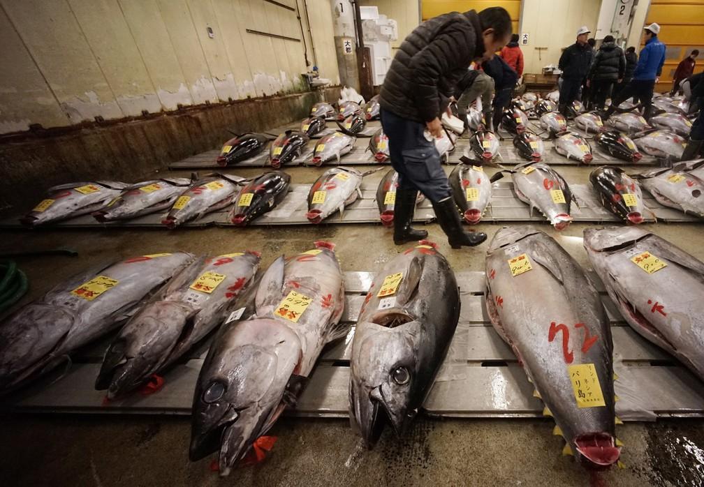 5 de janero  - Um potencial comprador inspeciona a qualidade de um atum fresco antes do primeiro leilão do ano no mercado de peixe Tsukiji em Tóquio, no Japão. Um atum rabilho de 405 quilos foi vendido por 36,5 milhões de ienes (cerca de R$ 10,5 mi) no que pode ser o último leilão do mercado  (Foto:  Eugene Hoshiko/AP)