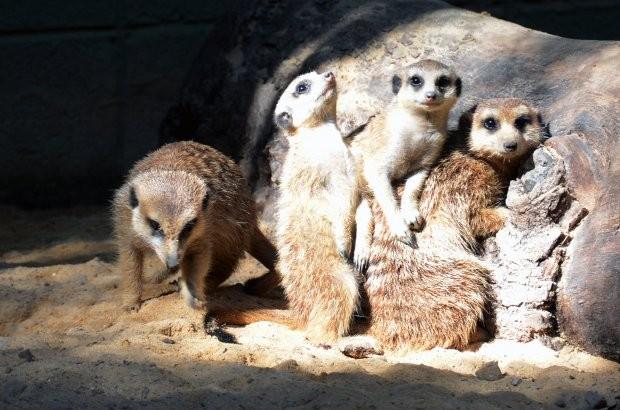 Um ano atrás, três suricatas trocaram Joanesburgo por Sorocaba (Fot Divulgação/Prefeitura de Sorocaba)