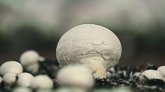 Cultivo de cogumelos atrai novos produtores no Paraná
