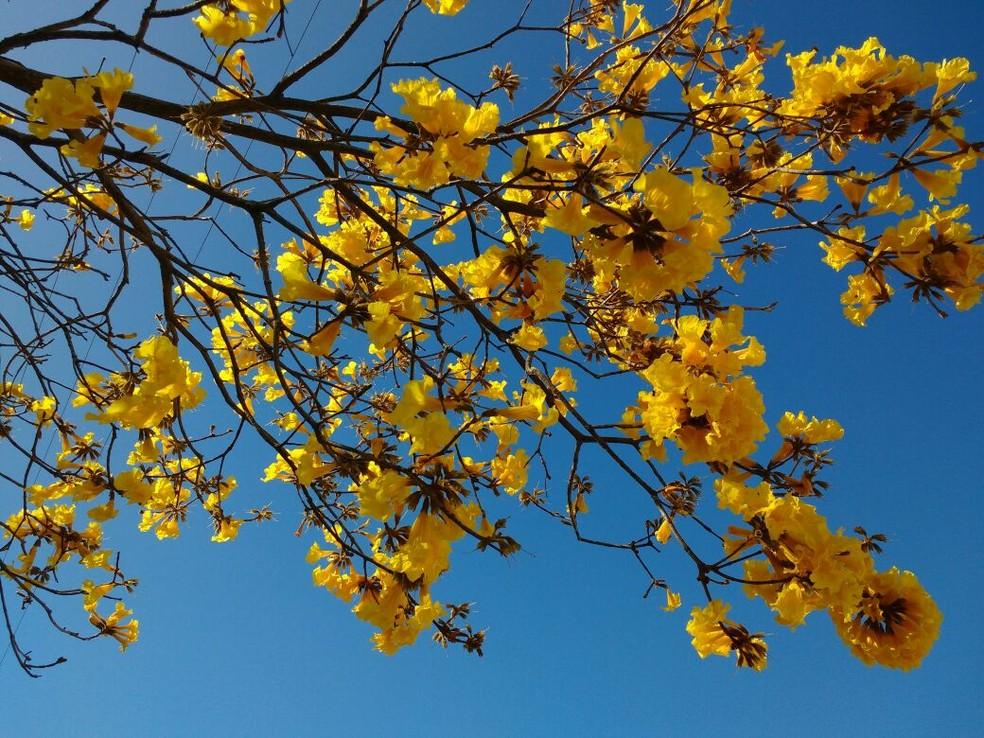 Ipê amarelo floresce em Florianópolis. — Foto: Fernanda Burigo/G1