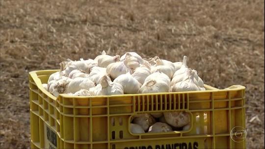 Preço pago ao produtor de alho melhora, mas concorrência com a China preocupa