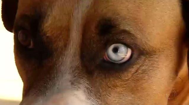Heterocromia em animais chama atenção pela beleza, mas é preciso ter cuidados