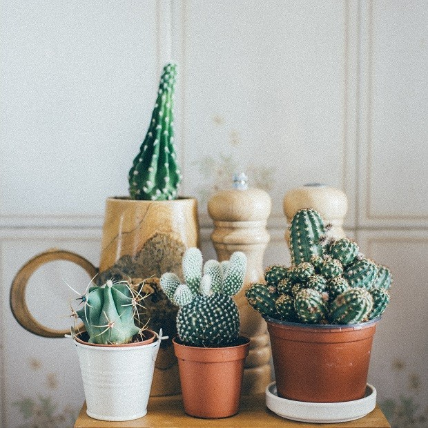 Small Cactus Plants in a Pot on wooden table (Foto: Getty Images/iStockphoto)