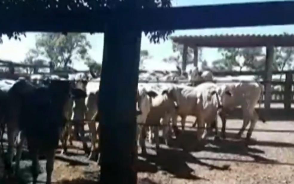 Animais que seriam roubados em fazenda de Arenópolis — Foto: Reprodução|TV Anhanguera