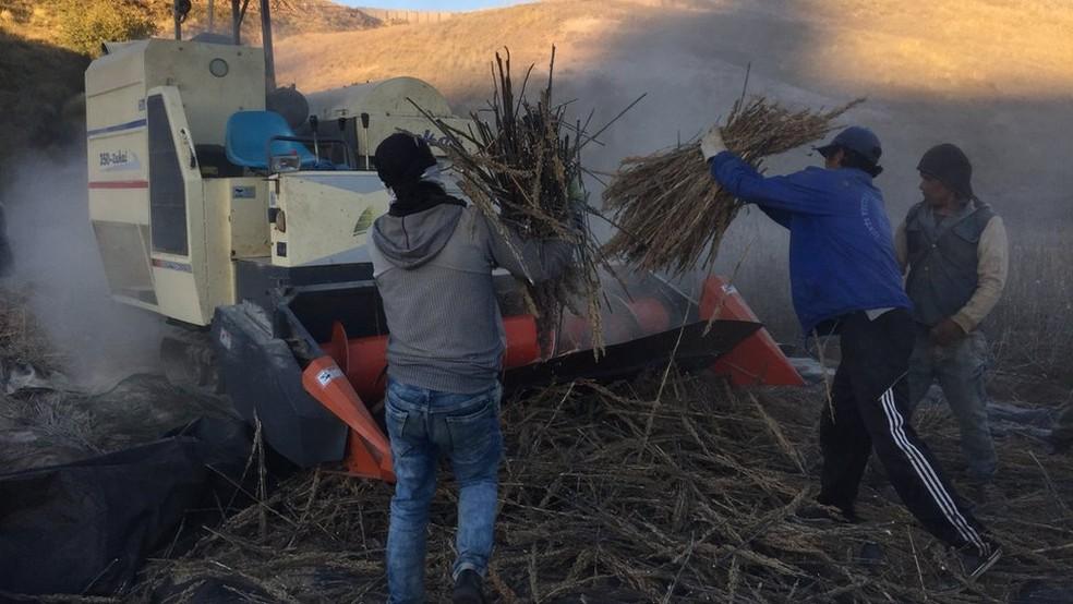 O genoma da quinoa foi mapeado e o grão já está sendo plantado em outros países (Foto: BBC)