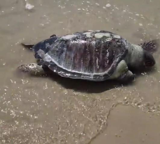 Tartaruga é encontrada morta na praia de São Marcos em São Luís