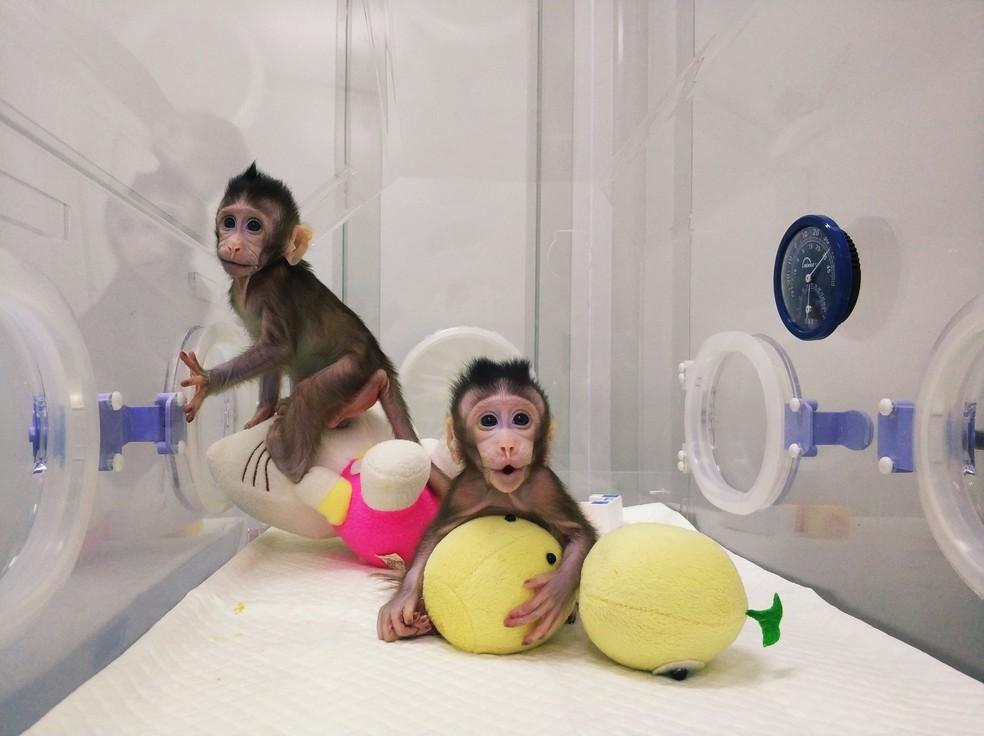 Os macacos foram os primeiros a serem clonados de uma célula não-embrionária. — Foto: Qiang Sun e Mu-ming Poo/Academia Chinesa de Ciência/ Reuters