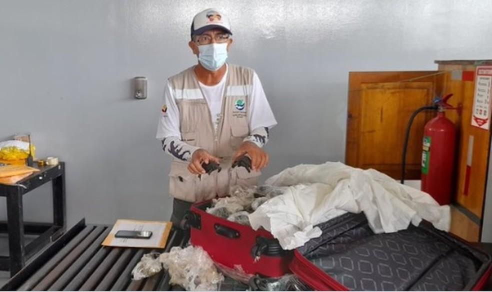 Mala contendo 185 tartarugas é descoberta no aeroporto de Galápagos — Foto: Reprodução/ Twitter Ministério do Ambiente do Equador