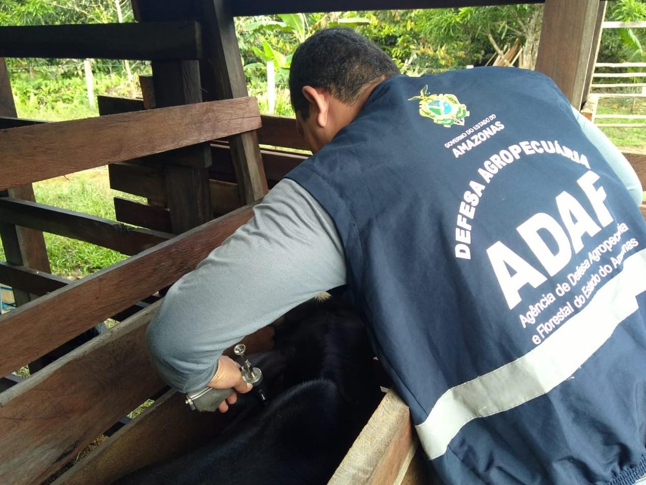 Mais de 97% de rebanhos bovino e bubalino no AM são imunizados contra febre aftosa, afirma Adaf - Notícias - Plantão Diário