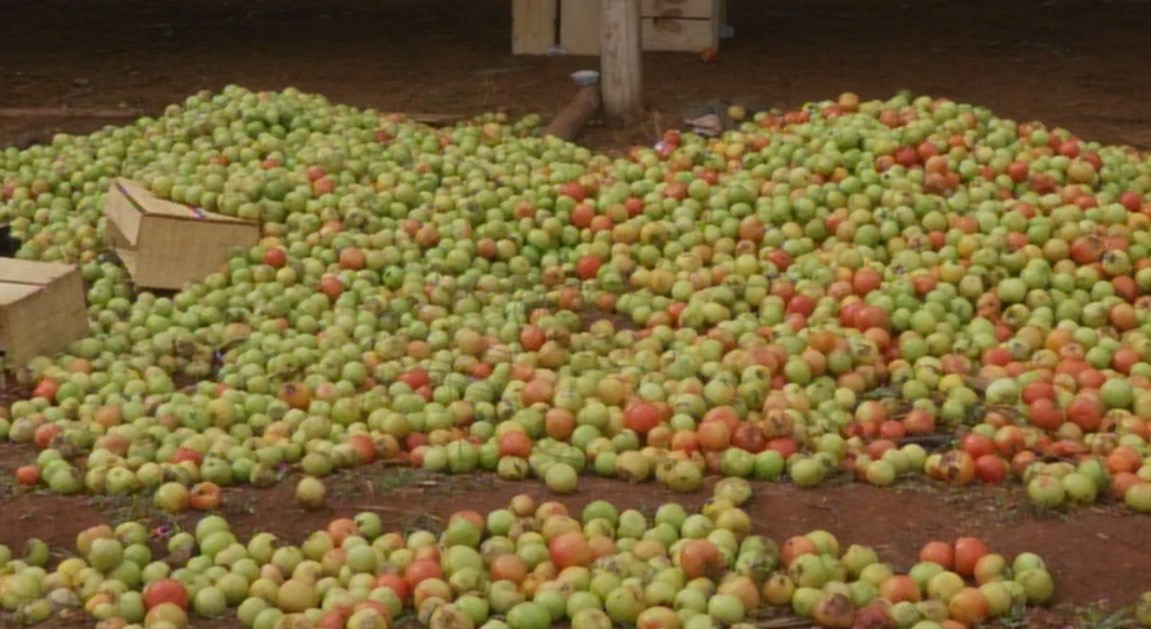 Preço do quilo do tomate aumenta na região de Itapeva por causa da queda na temperatura
