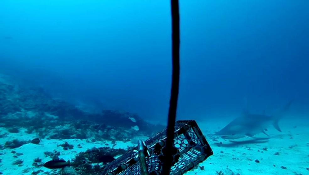 Espécie rara de tubarão-martelo é avistada no litoral da Paraíba — Foto: Projeto Megafauna Marinha Ameaçada/Divulgação