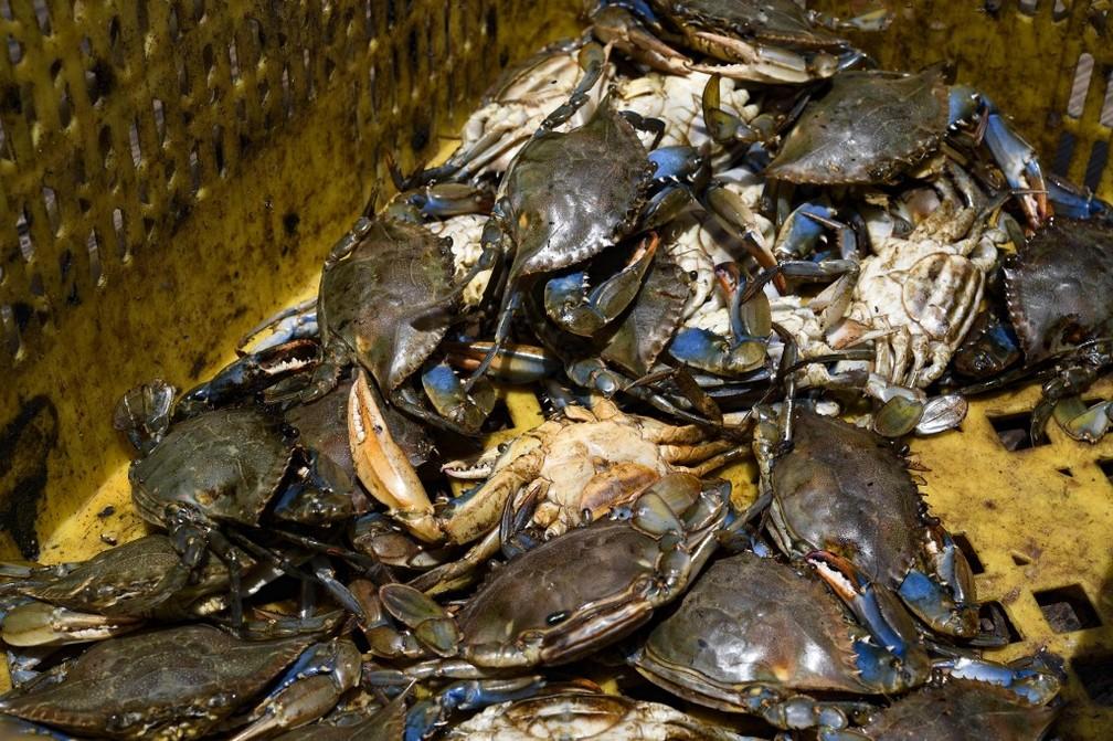 Caranguejos contaminados por petróleo no Lago de Maracaibo, na Venezuela — Foto: Yuri Cortez/AFP