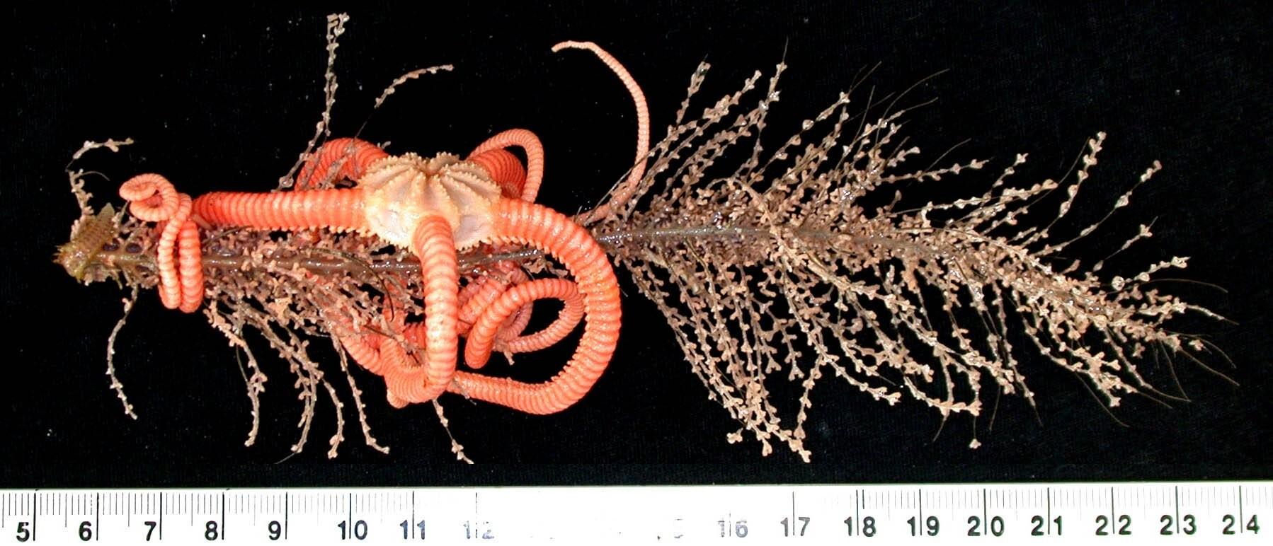 Ofiuroides - Ophiuroidea (Gorgonocephalidae sp) -  (Foto: CSIRO)