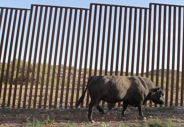 Touro pasta em frente a uma grade na fronteira entre Estados Unidos e México (Foto: Scott Olson/Getty Images)