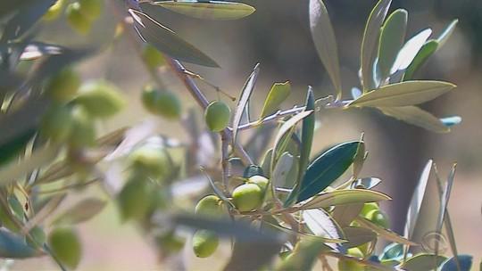Rio Grande do Sul é o maior produtor de oliveiras do país