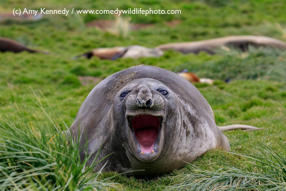Leão marinho preguiçoso (Foto: Amy Kennedy /  Comedy Wildlife Photography)