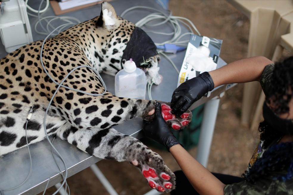 Onça-pintada adulta chamada Amanaci recebe tratamento com células-tronco nas patas, após queimaduras durante um incêndio no Pantanal, na ONG Instituto Nex em Corumbá de Goiás (GO) — Foto: Ueslei Marcelino/Reuters
