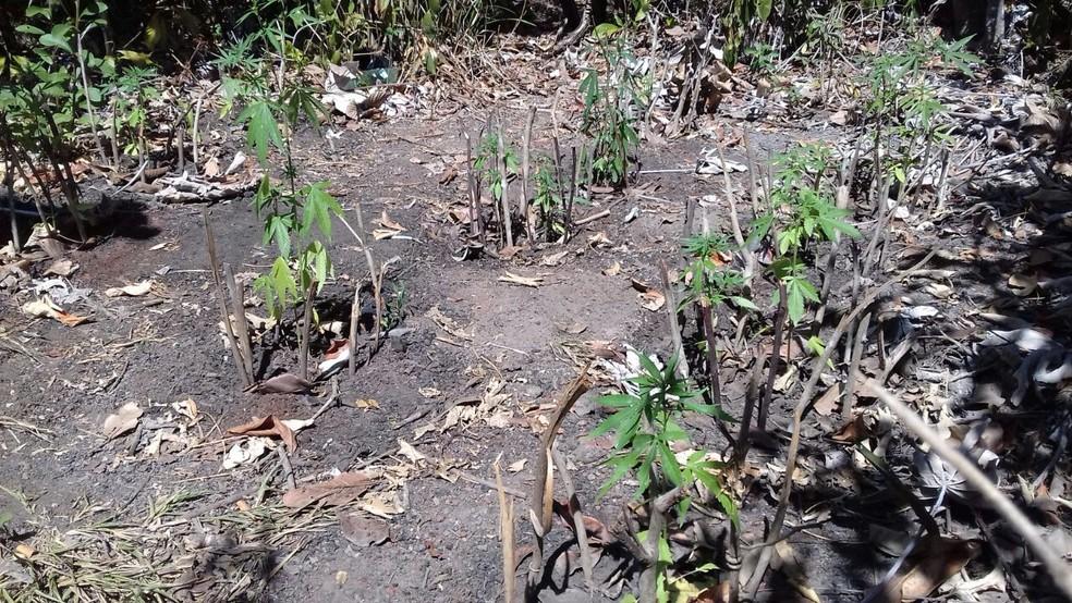 PM fez buscas e encontrou os pés de maconha  (Foto: Polícia Militar/Divulgação)