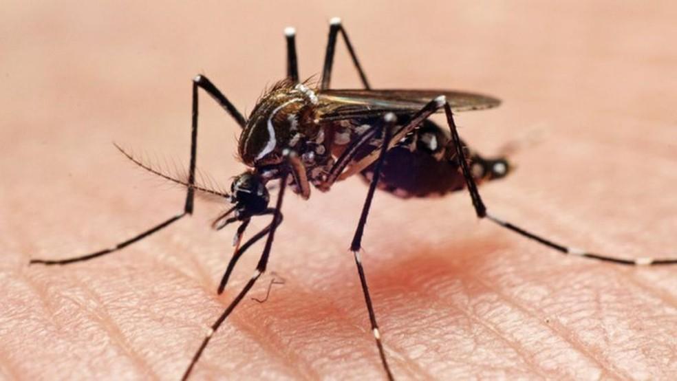 O mosquito Aedes aegypti é o principal transmissor de dengue, zika e chikungunya em regiões urbanas do Brasil — Foto: João Paulo Burini/Getty Images via BBC