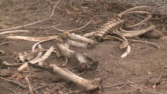 Produtores lamentam morte do gado por causa da seca em Alagoas