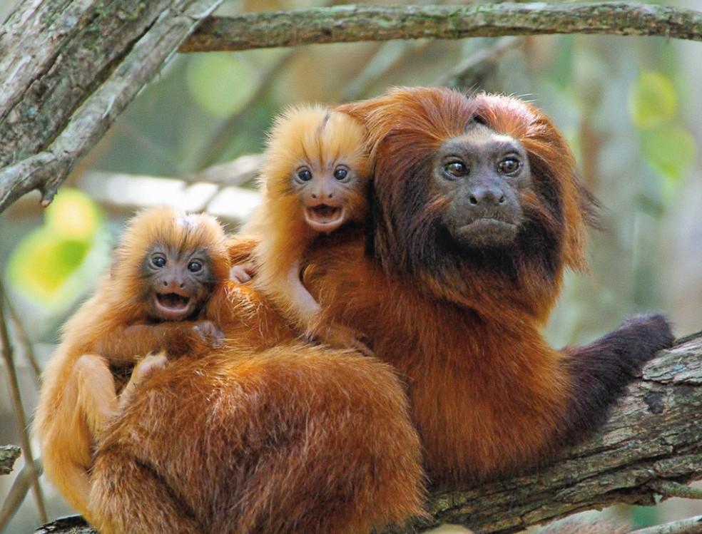 A história do mico-leão-dourado, um dos símbolos da complexa ...