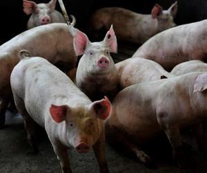 Santa Catarina teve receita de US$ 1,2 bilhão com exportação de carne suína em 2020
