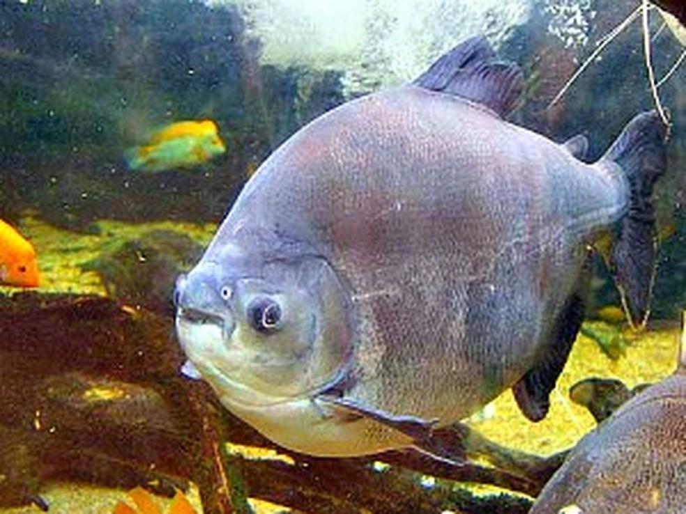 Tambaqui será uma das espécies estudadas pelos pesquisadores.  (Foto: Dennis Barbosa/Globo Amazônia)